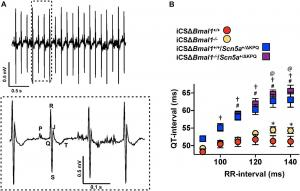 Deletion of Bmal1 in adult cardiomyocytes prolongs the QT-interval at longer RR-intervals