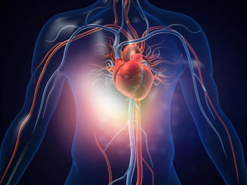 An illustration of a human heart with blood vessels. Rasi Bhadramani, Getty Images