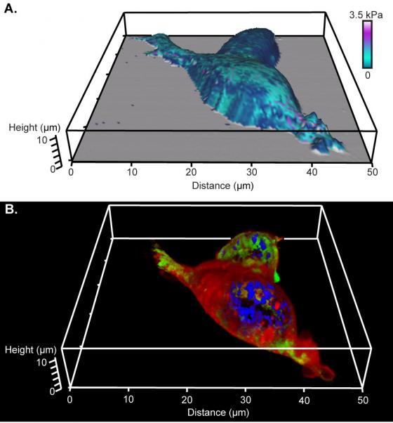 Image of Comparison of 3D renderings of AFM and confocal microscopy of living HEK cells.